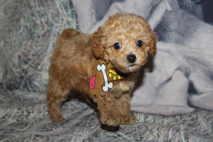 Levi (Scotch) Male CKC Maltipoo $2000 Ready 10/28 SOLD MY NEW HOME PINE CREST, FL 1lb 14oz 7W old