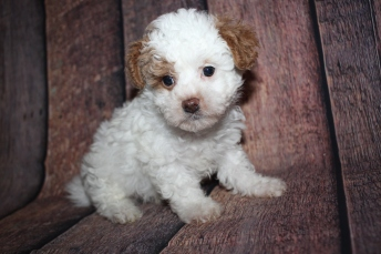 Maximus (Bentley) Male CKC Malshipoo $2000 Ready 10/10 SOLD MY NEW HOME JACKSONVILLE, FL 2lb 5.5oz 7 weeks old