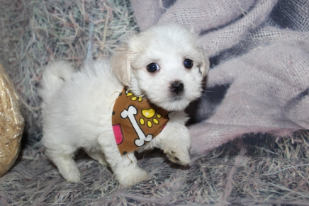 Raleigh(Chico) Male CKC Havanese $2000 Ready 10/29 SOLD MY NEW HOME PONTE VEDRA BEACH, FL 1lb 13.5oz 7W old