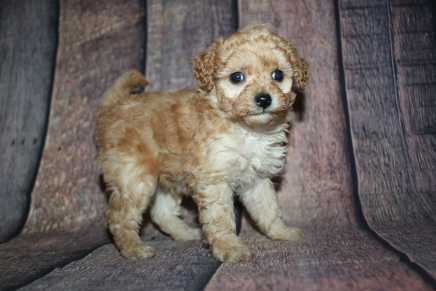 Reese Male CKC Mini Labradoodle $2000 Ready 10/23 HAS DEPOSIT MY NEW HOME ORMOND BEACH, FL 1lb 9oz 5W3D old