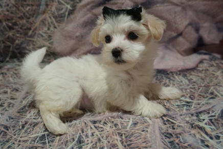 Savannah Female ale CKC Havanese $2000 Ready 10/29 SOLD MY NEW HOME JACKSONVILLE, FL 1lb 8oz 7W old