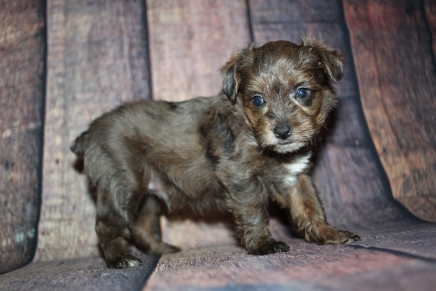 Smuckers Male CKC Yorkipoo $2000 Ready 10/24 HAS DEPOSIT MY NEW HOME ORD, FL 1lb 14oz 5W1D old