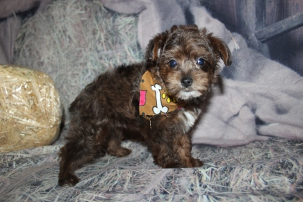 Smuckers Male CKC Yorkipoo $2000 Ready 10/24 SOLD MY NEW HOME ORD, FL 2lbs 4oz 7W3D old