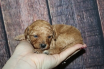 Autumn Female Female CKC Mini Labradoodle $2000 Ready 11/22 HAS DEPOSIT MY NEW HOME JACKSONVILLE FL 14oz 2W2D old
