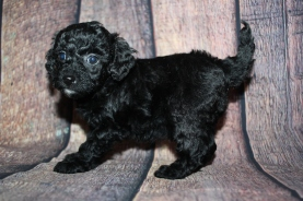 Baby Ruth Male CKC Mini Labradoodle $2000 Ready 10/23 HAS DEPOSIT MY NEW HOME WHITEHOUSE STATION, NJ 1lb 14.5oz 5W3D old