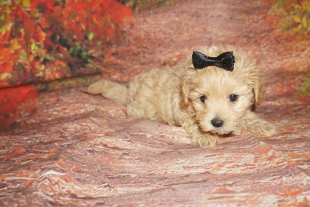 Callie (Jenni) Female CKC Havapoo $2000 Ready 10/08 SOLD MY NEW HOME BOCA RATON, FL 2 lbs 1oz 6W5D Old