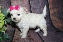 Champagne Female Miki $2000 Ready 10/24 SOLD MY NEW HOME HOLLY HILLS, FL 1lb 1oz 6W4D old