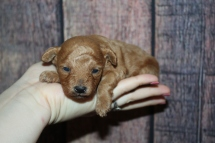 Chili Pepper Male Female CKC Mini Labradoodle $2000 Ready 11/22 HAS DEPOSIT MY NEW HOME JACKSONVILLE FL 13oz 2W2D old
