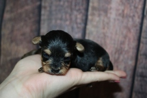 China Female CKC Yorkipoo $2000 Ready 11/21 HAS DEPOSIT MY NEW HOME ST SIMON ISLAND, GA 7oz 2W4D old