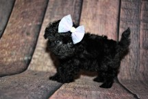 Gigi Female CKC Shihpoo $2000 Ready 10/15 HAS DEPOSIT MY NEW HOME JACKSONVILLE. FL 1lb 1oz 6W4D old