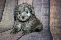 Gremlin Male CKC Shihpoo $2000 Ready 10/15 SOLD MY NEW HOME PONTE VEDRA BEACH, FL 1lb 14oz 6W4D old