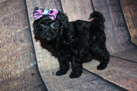 Hershey (Bella Rose) Female CKC Mini Labradoodle $2000 Ready 10/23 HAS DEPOSIT MY NEW HOME COVINGTON, GA 1lb 9oz 5W3D old