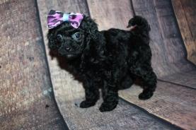 Hershey (Bella Rose) Female CKC Mini Labradoodle $2000 Ready 10/23 HAS DEPOSIT MY NEW HOME COVINGTON, GA 1lb 9oz 5W3D old