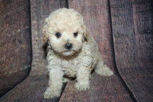 Jetta (Poppy) Female CKC Bichonpoo A/K/A Poochon $2000 Ready 10/25 HAS DEPOSIT MY NEW HOME ATLANTIC BEACH, FL 1lb 14.5oz 5W old