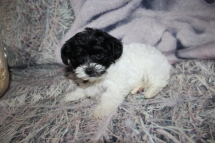 Jif (Ace) Male CKC Yorkipoo $2000 Ready 10/24 SOLD MY NEW HOME JACKSONVILLE, FL 1lb 10oz 7W3D old
