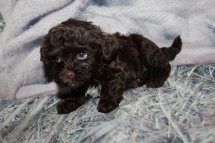 Judge (Max) Male CKC Havapoo $2000 Ready 10/31 SOLD MY NEW HOME DELRAY BEACH, FL 2lbs 9oz 6W4D old