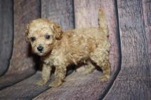 Levi Male CKC Maltipoo $2000 Ready 10/28 HAS DEPOSIT MY NEW HOME PINE CREST, FL 1lb 5oz 4W5D old