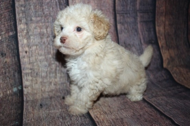 Mac Male CKC Malshipoo $2000 Ready 10/10 SOLD MY NEW HOME LITHIA, FL 2lb 4oz 7 Weeks old