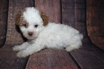 Maximus (Bentley) Male CKC Malshipoo $2000 Ready 10/10 HAS DEPOSIT MY NEW HOME JACKSONVILLE, FL 2lb 5.5oz 7 Weeks old