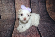Mini Female CKC Toy Poodle $2000 Ready 10/30 HAS DEPOSIT MY NEW HOME POMPANO, FL 1lb 1.5oz 4W3D old