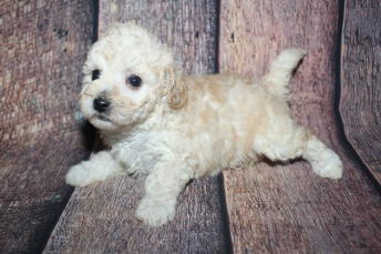 Mustang Sally Female CKC Bichonpoo A/K/A Poochon $2000 Ready 10/25 HAS DEPOSIT MY NEW HOME WESTON, FL 1LB 12oz 5 Weeks Old