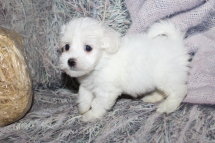 Philly Asher Hayes Male CKC Havanese $2000 Ready 10/29 SOLD MY NEW HOME JACKSONVILLE, FL 1lb 13.5oz 7W old