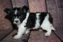 Porter Male Miki $2000 Ready 10/24 SOLD MY NEW HOME GLEN ST MARYS, FL 1lb 9oz 6W4D old