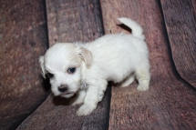 Raleigh (Chico) Male CKC Havanese $2000 Ready 10/29 HAS DEPOSIT MY NEW HOME PONTE VEDRA BEACH, FL 1lb 2.5oz 4W4D old