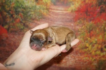Serenity (Comfort) Female Miki $2000 Ready 11/28 HAS DEPOSIT MY NEW HOME OCALA, FL 5.1 oz JUST BORN