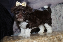 Wittness Female CKC Havapoo $2000 Ready 10/31 SOLD MY NEW HOME GAINESVILLE, FL 7W2D old