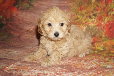 Chip (Rossi) Male CKC Havapoo $2000 Ready 10/08 SOLD MY NEW HOME JACKSONVILLE, FL 2 lbs 12oz 6W5D Old