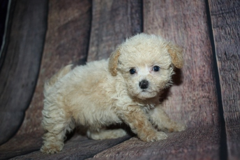Grayson Male CKC Shihpoo $2000 Ready 10/15 SOLD MY NEW HOME PONTE VEDRA BEACH. FL 1lb 3oz 6W4D old