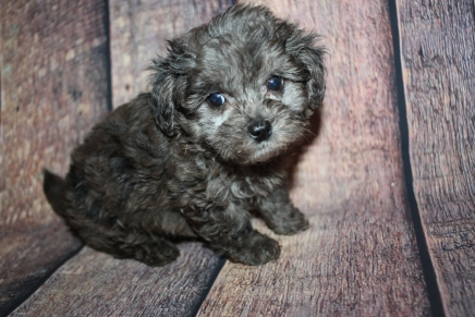 Gremlin Male CKC Shihpoo $2000 Ready 10/15 HAS DEPOSIT MY NEW HOME PONTE VEDRA BEACH, FL 1lb 14oz 6W4D old