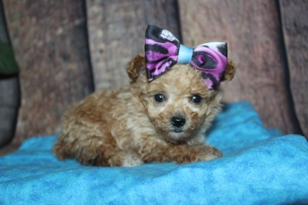 Lucy (Bella) Female CKC Toy Poodle $2000 Ready 11/3 HAS DEPOSIT MY NEW HOME JACKSONVILLE, FL 11.4oz 5w2d old