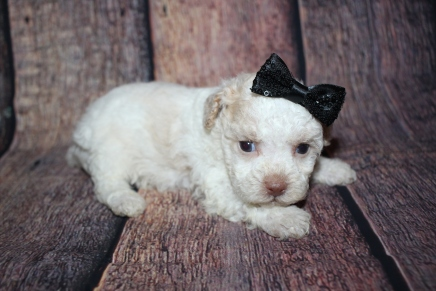 Mini Female CKC Toy Poodle $2000 Ready 10/30 HAS DEPOSIT MY NEW HOME POMPANO, FL 1lb 1.5oz 4W3D old