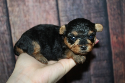 Peru Male CKC Yorkipoo $2000 Ready 11/21 HAS DEPOSIT MY NEW HOME JACKSONVILLE, FL 12oz 2W4D old
