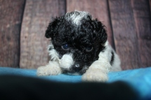 Ricky (Oreo) Male CKC Toy Poodle $2000 Ready 11/3 HAS DEPOSIT MY NEW HOME RICHMOND, RI 1 lb 6oz 5 Weeks Old