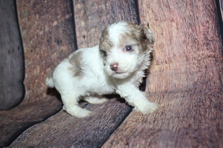 Squirt Male CKC Toy Poodle $2000 Ready 10/30 HAS DEPOSIT MY NEW HOME JACKSONVILLE, FL 15.7oz 4W3D old