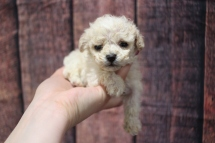 Teeny Weeny (Max) Male CKC Toy Poodle $2000 Ready 10/30 HAS DEPOSIT MY NEW HOME JACKSONVILLE, FL 12oz 4W3D old