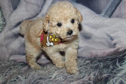 Wrangler (Tito) Male CKC Maltipoo $2000 Ready 10/28 SOLD MY NEW HOME CORAL GABLES, FL 1lb 9oz 7W old