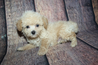 Grayson Male CKC Shihpoo $2000 Ready 10/15 HAS DEPOSIT MY NEW HOME PONTE VEDRA BEACH. FL 1lb 3oz 6W4D old