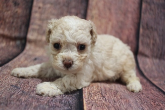 Itsy Bitsy Female CKC Toy Poodle $2000 Ready 10/30 HAS DEPOSIT MY NEW HOME ORLANDO, FL 1lb 4.7oz 4W3D old
