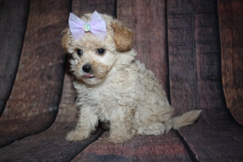 Maggie Female CKC Malshipoo $2000 Ready 10/10 SOLD MY NEW HOME MOUNT JULIET, TN 2lb 1oz 7W old