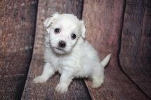 Philly (Asher Hayes) Male CKC Havanese $2000 Ready 10/29 HAS DEPOSIT MY NEW HOME JACKSONVILLE, FL 1lb 2.5oz 4W4D old