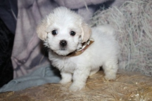 Raleigh (Chico) Male CKC Havanese $2000 Ready 10/29 SOLD MY NEW HOME PONTE VEDRA BEACH, FL 1lb 13.5oz 7W old