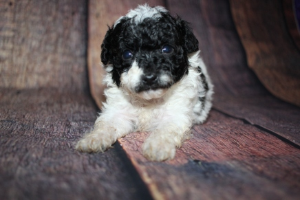 Ricky (Oreo) Male CKC Toy Poodle $2000 Ready 11/3 HAS DEPOSIT MY NEW HOME RICHMOND, RI 1 lb 2 oz 4 Weeks Old