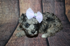 Tator Female CKC Toy Poodle $2000 Ready 10/30 HAS DEPOSIT MY NEW HOME 1lb 4.5oz 4W3D old