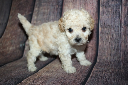 Boss Male CKC Bichonpoo A/K/A Poochon $2000 Ready 10/25 HAS DEPOSIT MY NEW HOME SEFFNER, FL 1lb 9oz 5 Weeks old