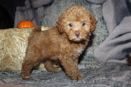 Calvin Cline Male CKC Maltipoo $2000 Ready 10/28 SOLD MY NEW HOME ST AUGUSTINE, FL 2lbs 4oz 7Weeks old