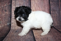 Jiff (Ace) Male CKC Yorkipoo $2000 Ready 10/24 HAS DEPOSIT MY NEW HOME JACKSONVILLE, FL 1lb 9oz 5W1D old